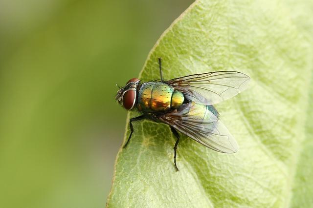 moucha bzučivka