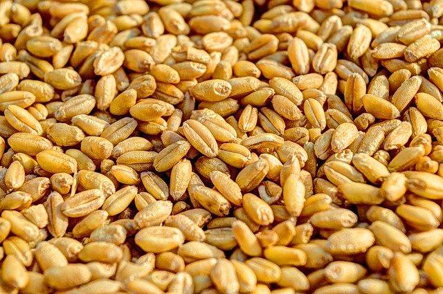 semena pšenice.jpg