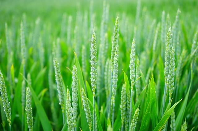 pšeničné pole.jpg