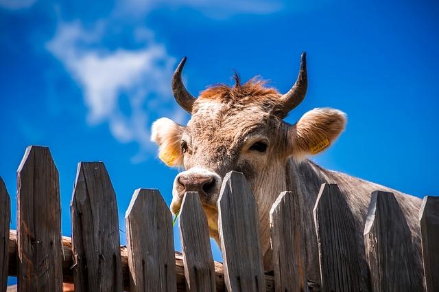 býk za dřevěným plotem