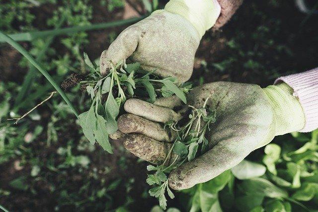Ruce v pracovních rukavicích držící hrst plevele